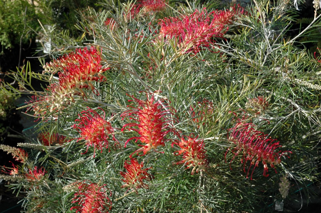 grevillea-spirit-of-anzac 2 Digby Growns